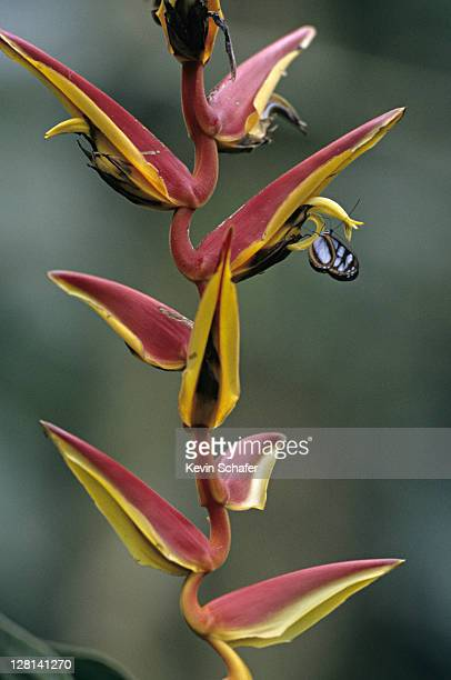 Butterfly nectaring on Heliconia flower, Cayambe - Coca Reserve, Andes Mountains, Ecuador