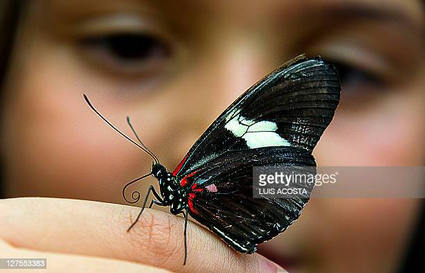 A butterfly of the family of Lepidopteros lands on the finger of a girl at the Botanic Garden Jose Celestino Mutis during an exhibition in Bogota on...