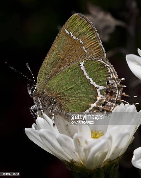 A butterfly of the Satyrium genus lands on a daisy in a garden in Mexico City on November 26 2015 AFP PHOTO/OMAR TORRES / AFP / OMAR TORRES