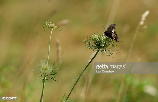 butterfly on a flower - lisa cranshaw stock pictures, royalty-free photos & images