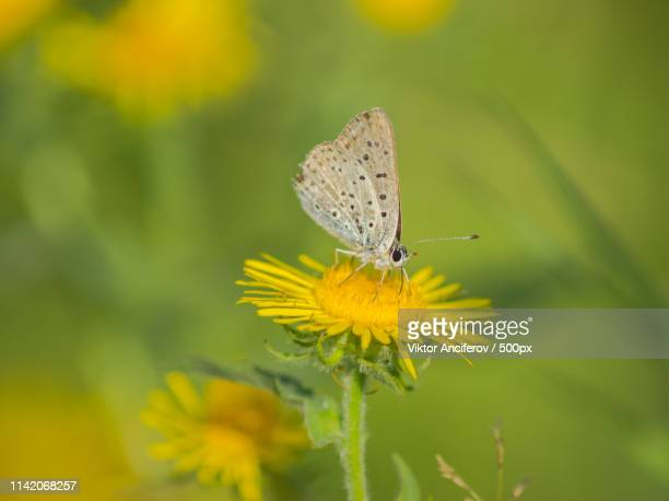 butterfly on a yellow flower - オレンブルク州 ストックフォトと画像