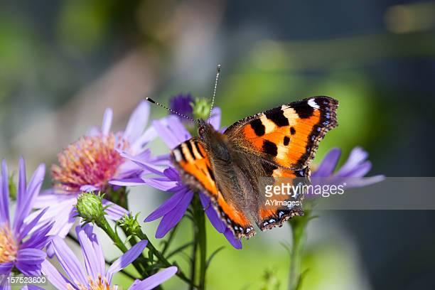 Schmetterling auf daisy