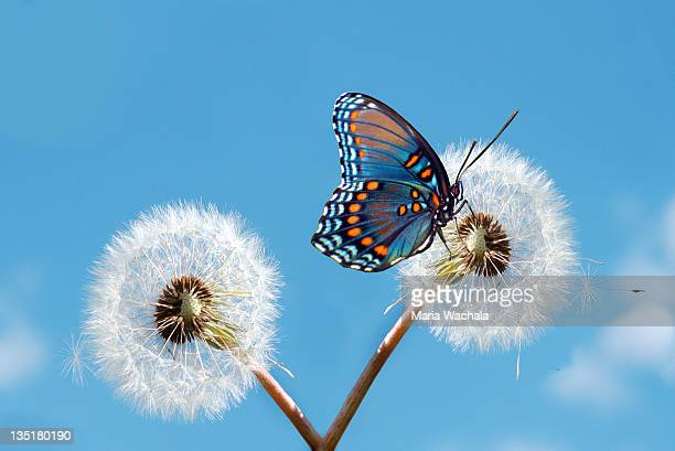 butterfly on dandelion - 止まる ストックフォトと画像