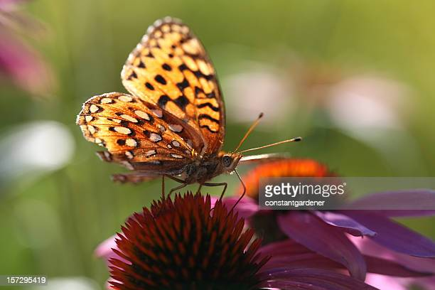 Butterfly On Echinacea