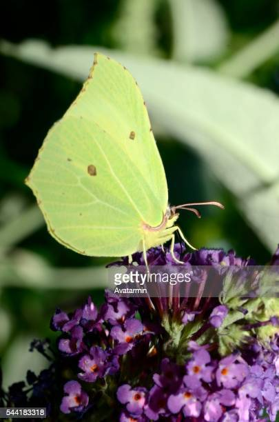 butterfly on flower - natur stock pictures, royalty-free photos & images