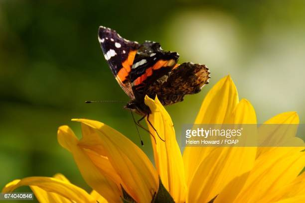 butterfly on flower - howard,_wisconsin stock pictures, royalty-free photos & images