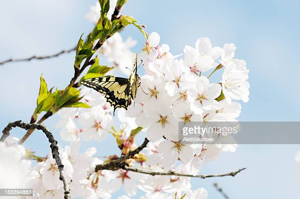 butterfly on fruit tree flower - peach blossom stock pictures, royalty-free photos & images