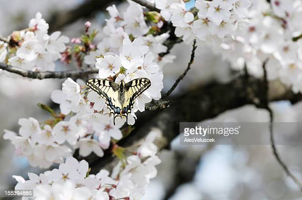Butterfly on Fruit Tree Flower