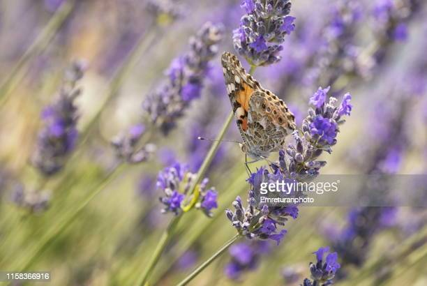 butterfly on lavender flower near cesme. - emreturanphoto stock pictures, royalty-free photos & images