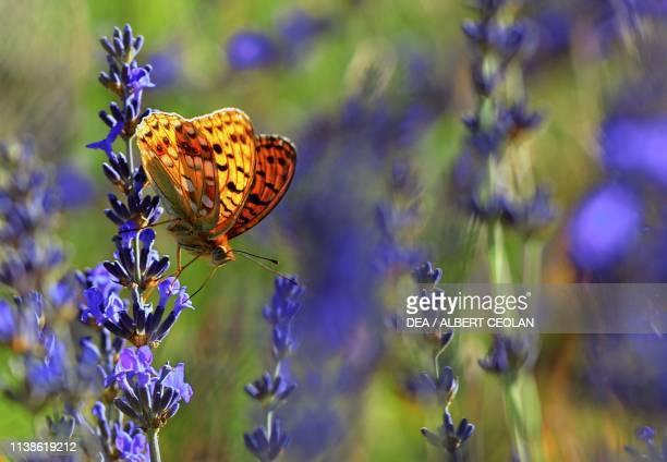 Butterfly on lavender flowers , Provence-Alpes-Cote d'Azur, France.