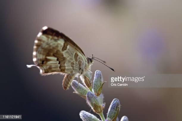 butterfly on lavender - cris cantón photography stock pictures, royalty-free photos & images