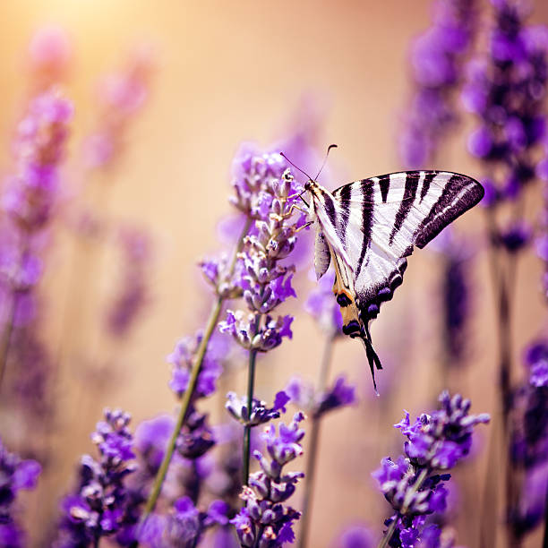 Butterfly On Lavender Wall Art