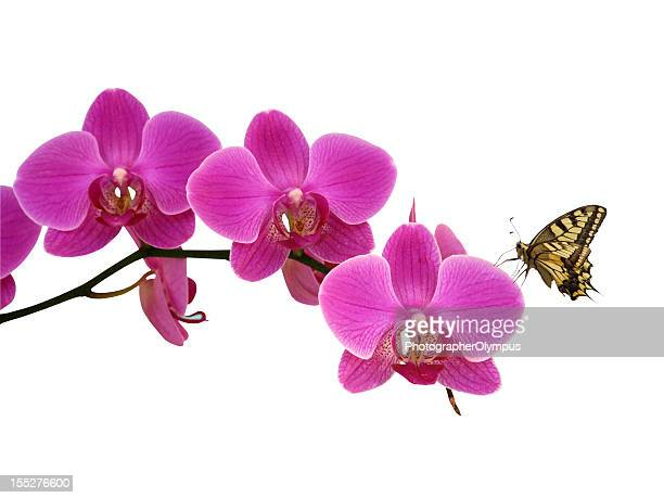 Butterfly on pink orchid