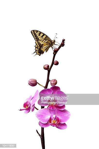 Papillon sur les orchidées roses