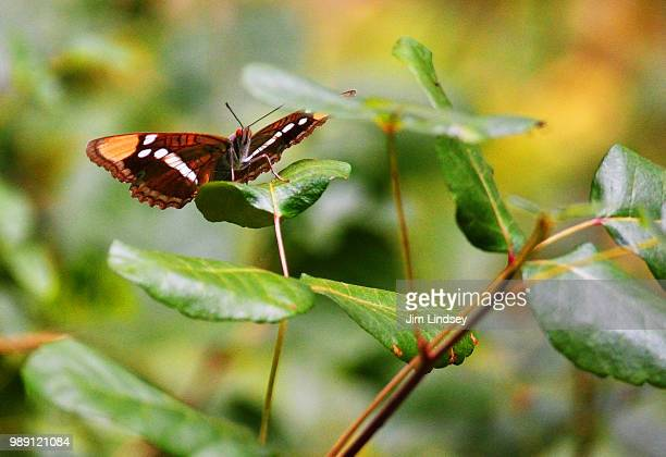 butterfly on poison oak - poison oak stock pictures, royalty-free photos & images