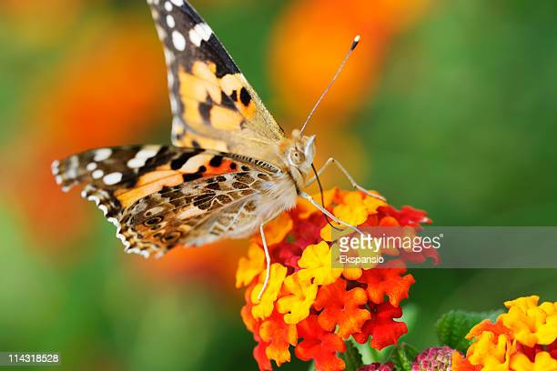 Butterfly on Red and Yellow Flowers with Green Plant Background
