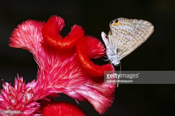 borboleta na flor de crista vermelha. - cockscomb plant - fotografias e filmes do acervo
