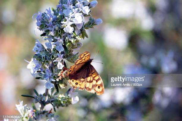 butterfly on rosemary - papillon dans le romarin - romarin stock pictures, royalty-free photos & images