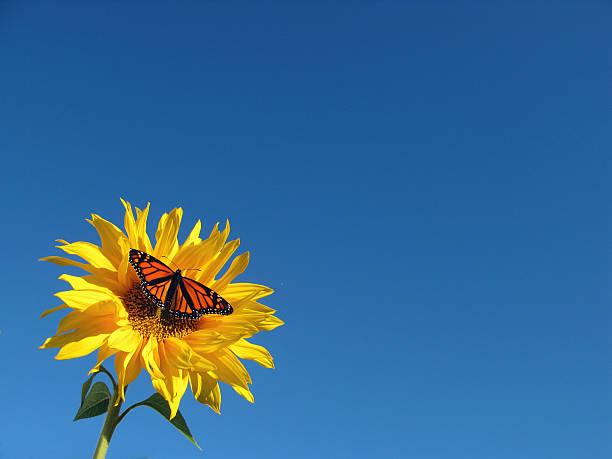 Butterfly On Sunflower Wall Art