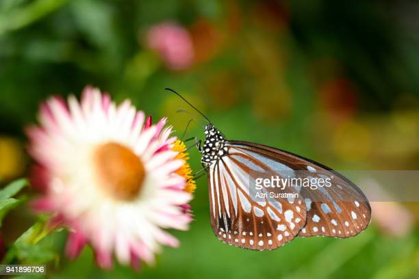 Butterfly on the Colorful Gerbera flower or daisy standing in the greenhouse farm