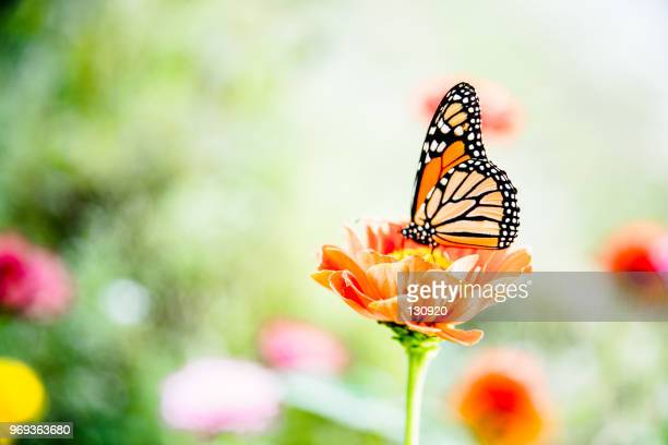 butterfly on the flower - schmetterling stock-fotos und bilder