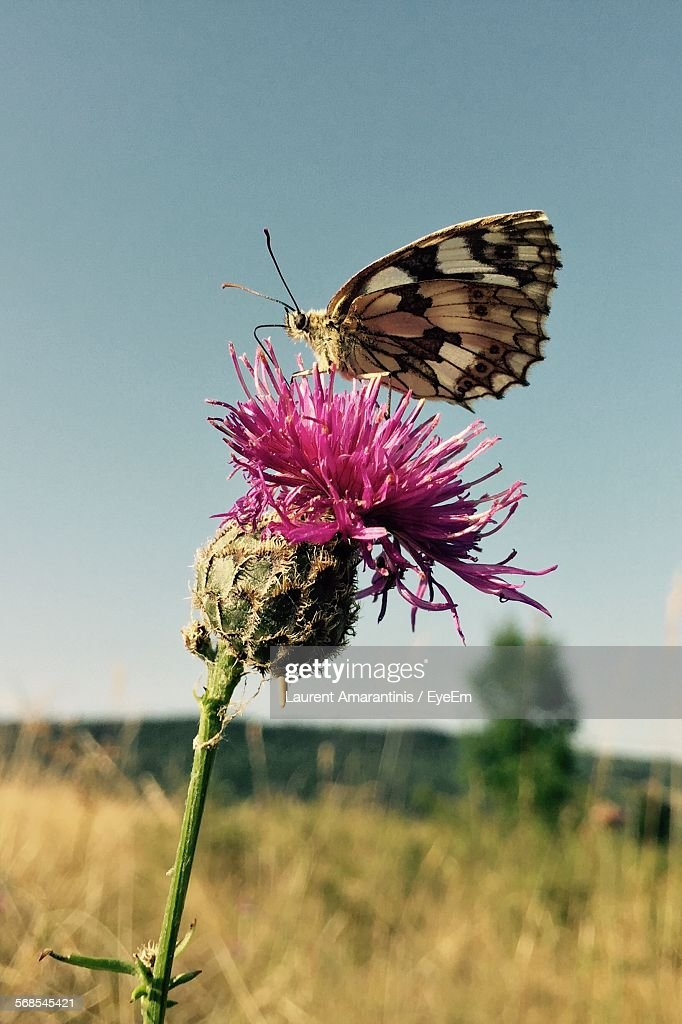 Butterfly On Thistle Flower Against Clear Sky : Stock Photo