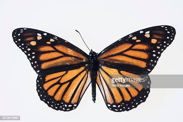 butterfly on white background - butterfly stock photos and pictures
