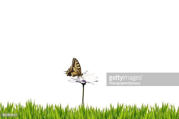 Butterfly on white daisy isolated