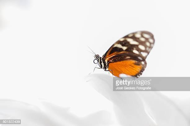 butterfly on white - biddingshuizen stockfoto's en -beelden