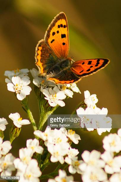 butterfly on yarrow flower - yarrow stock pictures, royalty-free photos & images