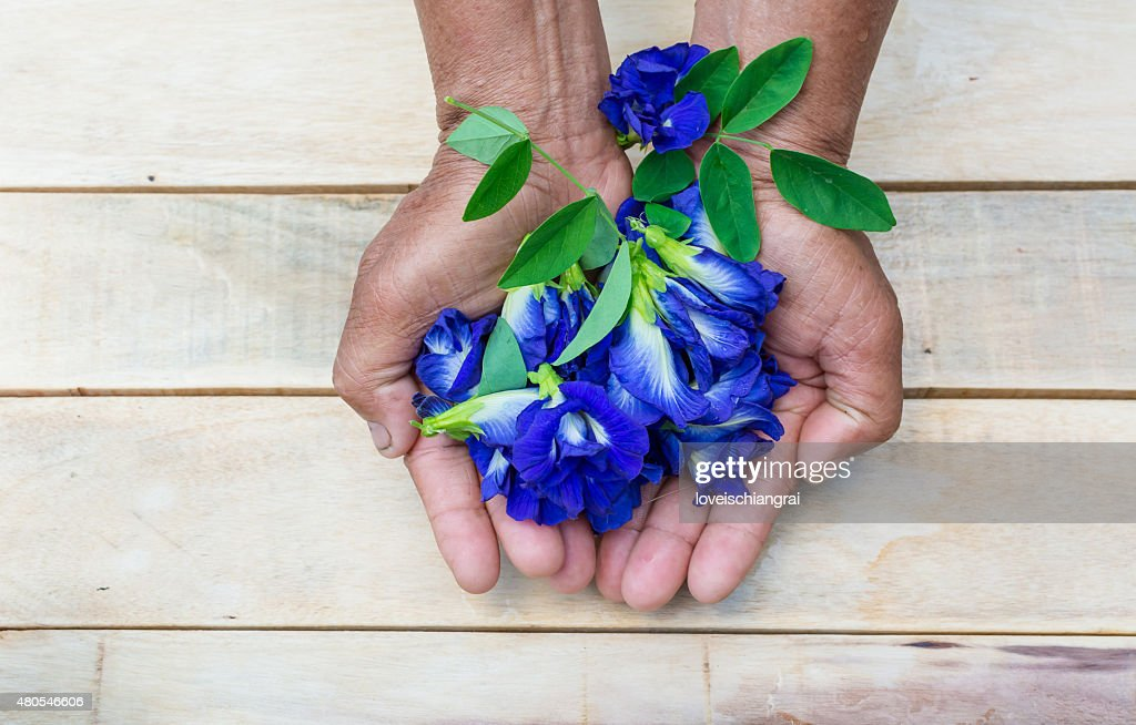 Butterfly pea flower, Clitoria ternatea : Stock Photo
