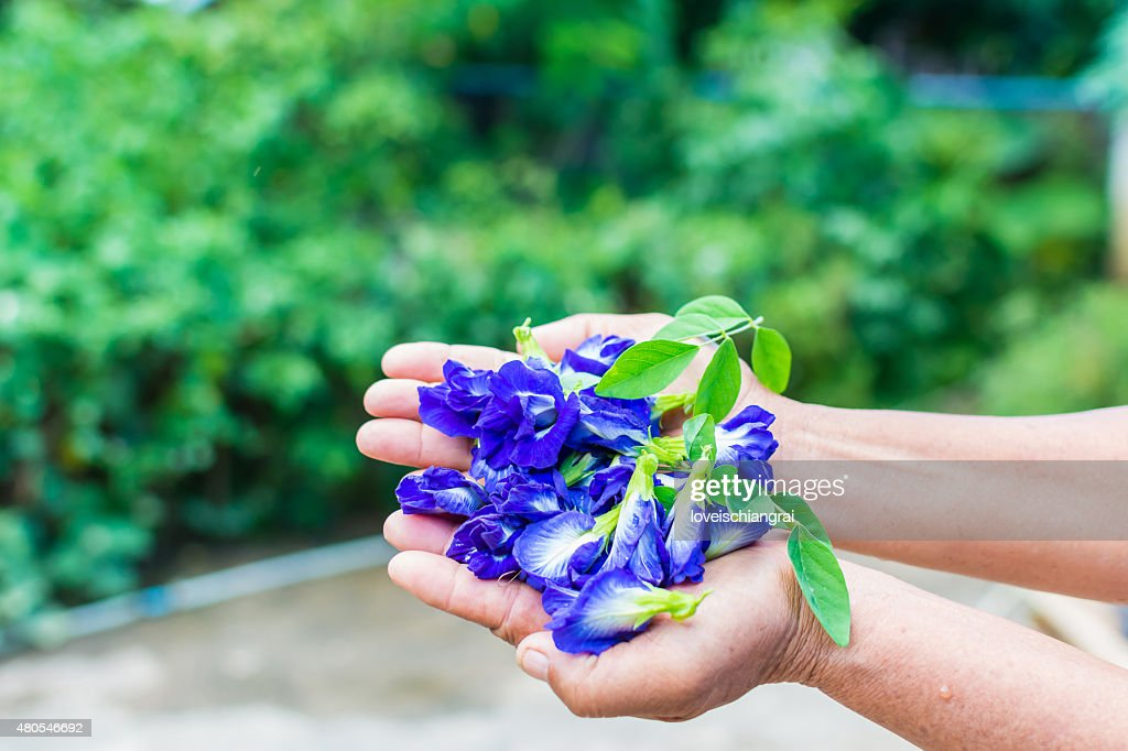 Schmetterling, Wicke, Clitoria ternatea : Stock-Foto
