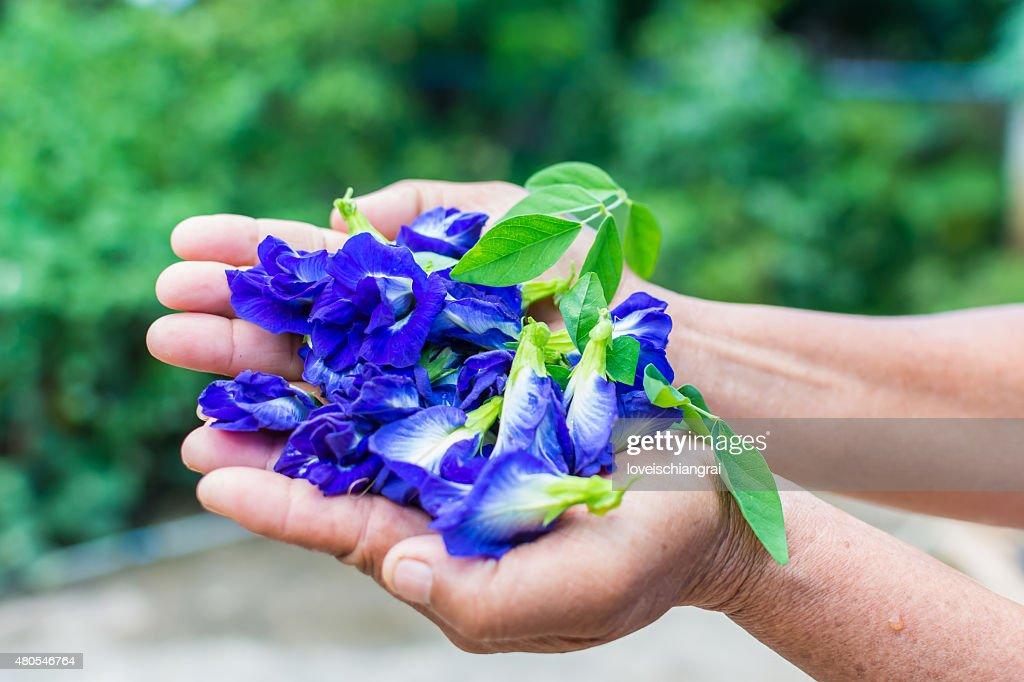 Borboleta Flor de ervilha, Clitoria ternatea : Foto de stock