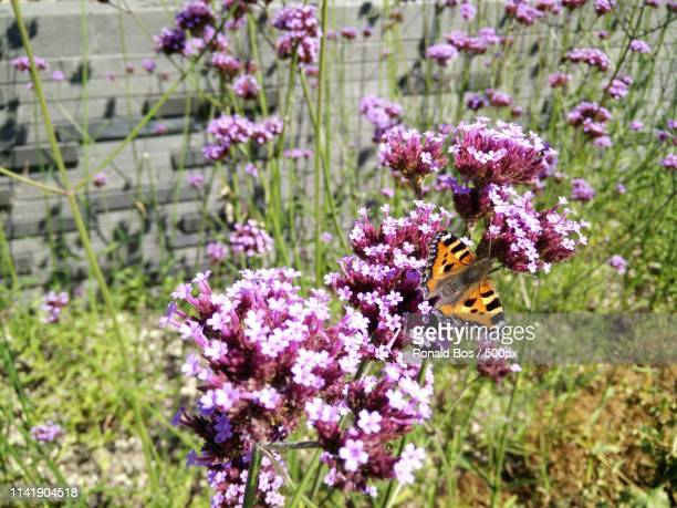 butterfly perching on flower - bos stock pictures, royalty-free photos & images