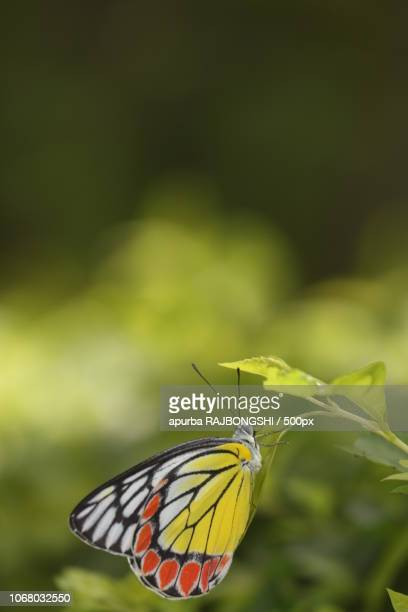 butterfly perching on leaf - bandhavgarh national park stock pictures, royalty-free photos & images