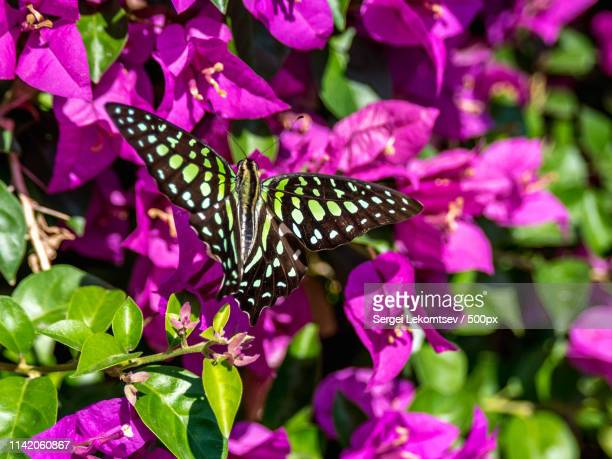 butterfly - sergei stock pictures, royalty-free photos & images