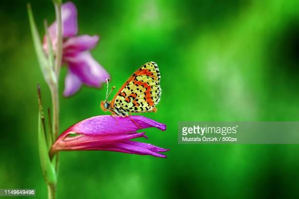 butterfly - animal abdomen stock photos and pictures