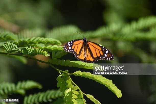butterfly - オランダ領リーワード諸島 ストックフォトと画像