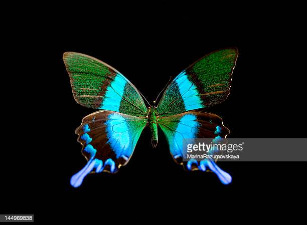farfalla. - farfalle colorate foto e immagini stock