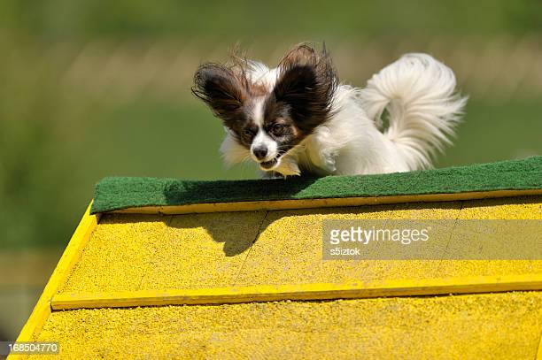 papillon - papillon dog stock photos and pictures