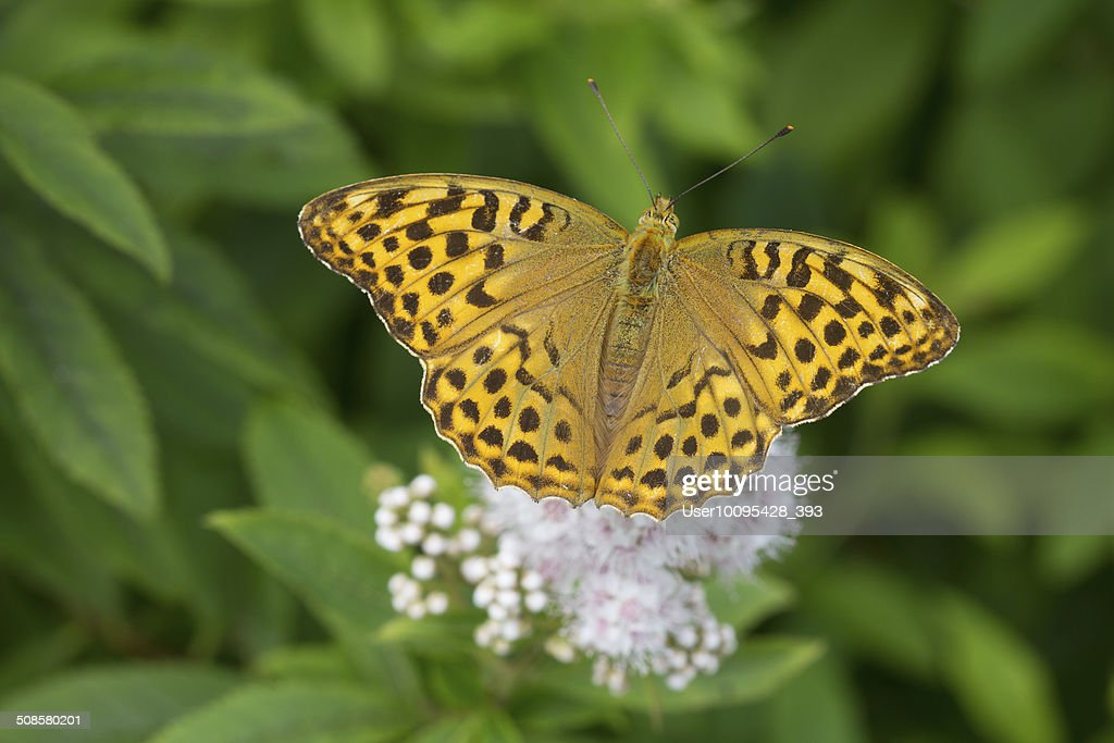 Butterfly (lat. Argynnis paphia) : Stock Photo