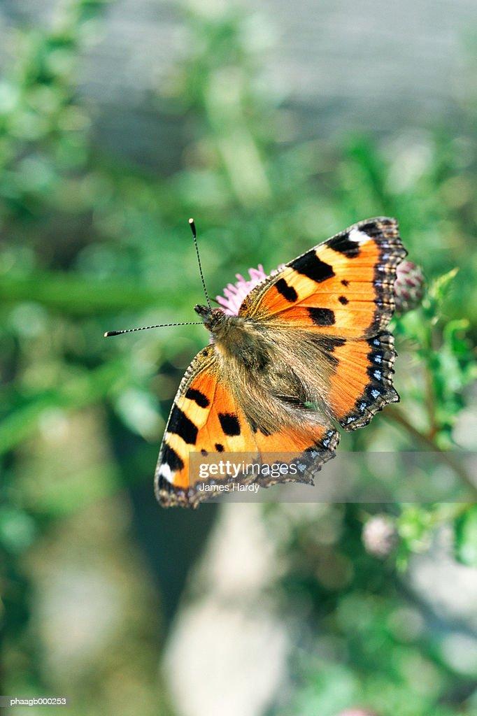 Butterfly : Stockfoto