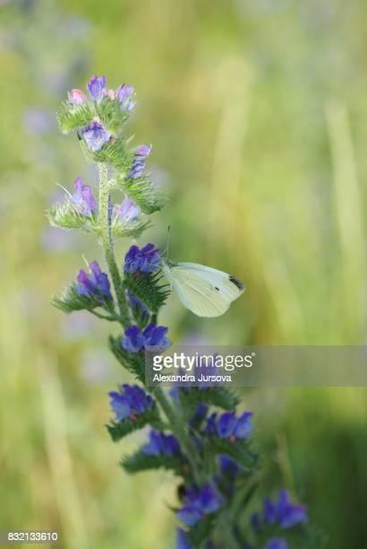 Butterfly Pieris brassicae