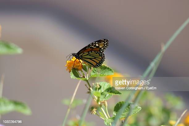 butterfly pollinating on flower - steven cottingham - fotografias e filmes do acervo