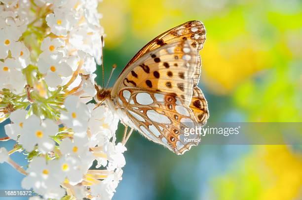 butterfly Queen of Spain Fritillary on flower
