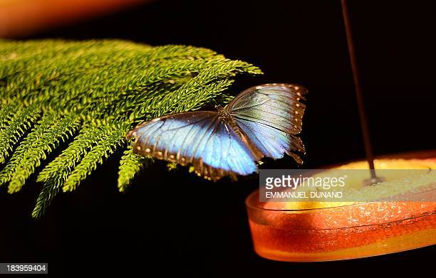 A butterfly rests on a branch during a preview visit of the butterfly conservatory at the American Natural History Musem in New York October 10 2013...