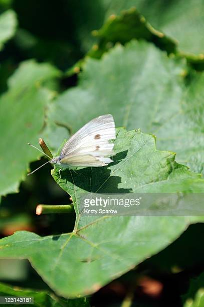 A butterfly rests on a grape leaf in the Nicolas Feuillatte champagne vineyards on August 31 2011 in Epernay France