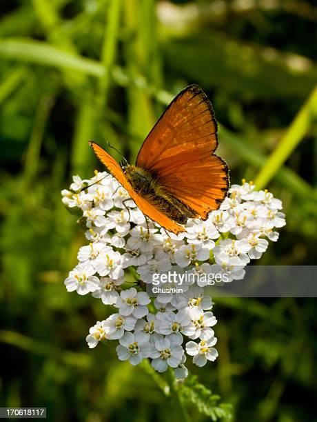 Papillon rares cuivre