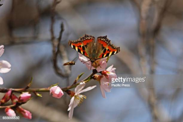 Butterfly sitting on an almond flower in almond garden in Srinagar Indian Controlled Kashmir on Monday March 20 2017 After the improvement in the...
