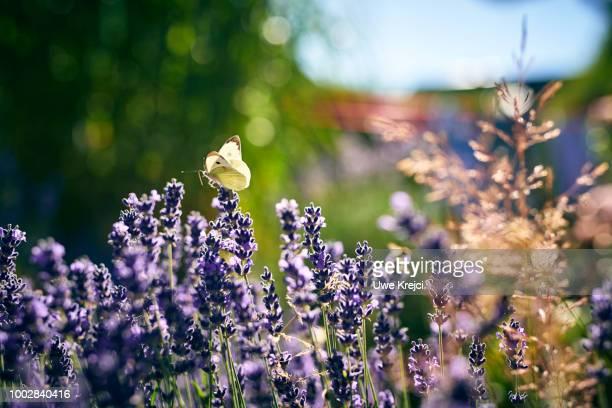 butterfly sitting on lavender in garden - wilde tiere stock-fotos und bilder